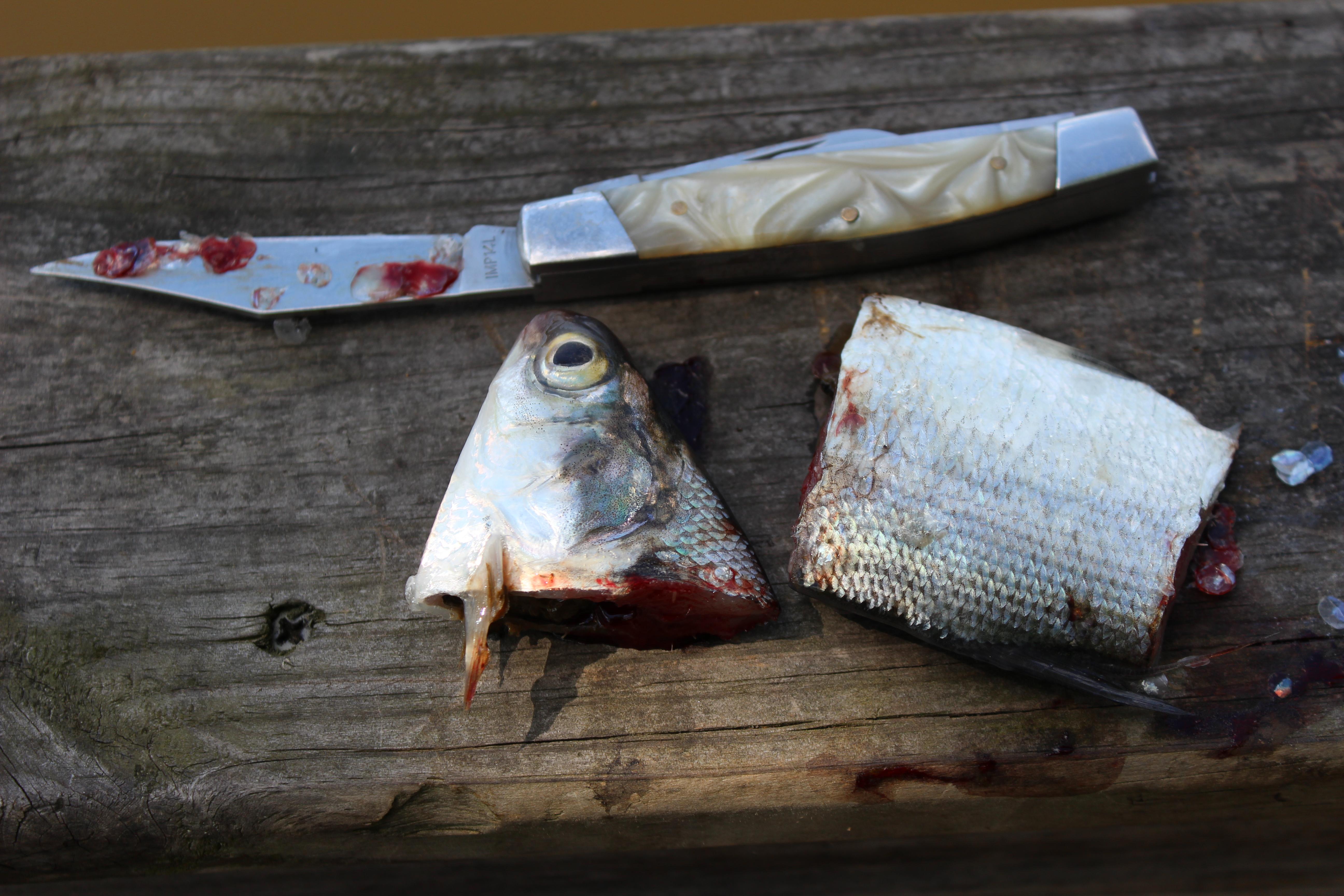 Catfish Bait Catsandcarp Com