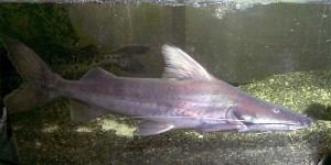 Piraiba catfish