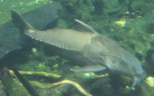 Sawtooth catfish
