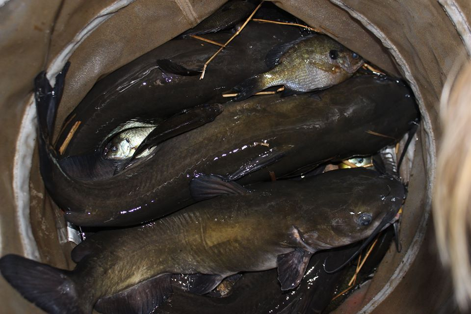 A basket full of channel cats from a small pond, caught on bluegill