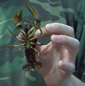 Crawdads can be a great catfish bait, alive or dead.