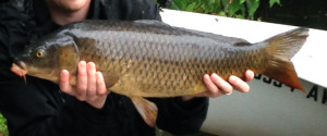 A darker colored common carp