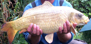 A ghost common carp.