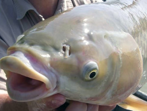Grass carp don't have barbels on their mouth and their mouths don't point down as much as common carp.
