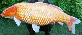 Koi are common carp in shades of orange, black and white.
