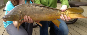 A linear carp with the line of scale on the back.
