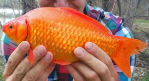 Gold fish are smaller and...look like your childhood pet.