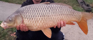 A lighter colored common carp.