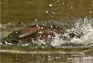 Carp begin spawning when the temperature, water levels and day light are just right.