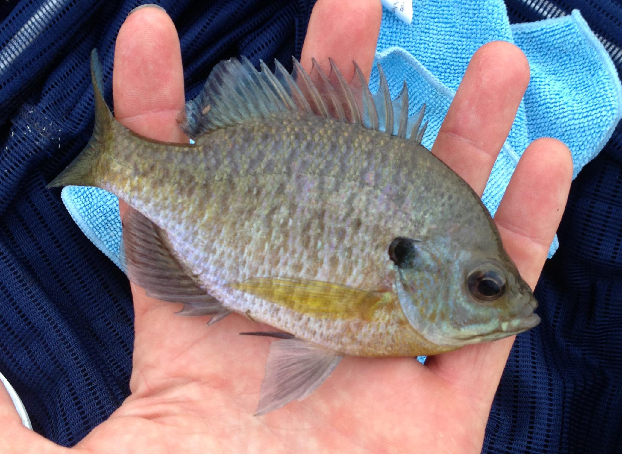 Flathead catfish tactics and baits for Cat fish bait