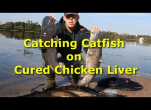 Catching Catfish with cured chicken liver