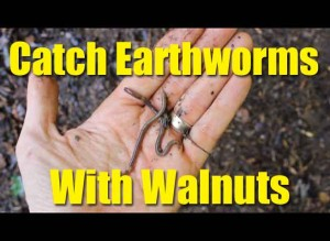 Catch Earthworms with walnuts