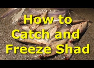 How to catch shad and freeze them for catfish bait