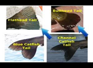 How to identify catfish